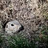 Sisel - European ground squirrel(Spermophilus citellus)