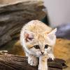 Sandkattunge - Sand cat kitten (Felis margarita)