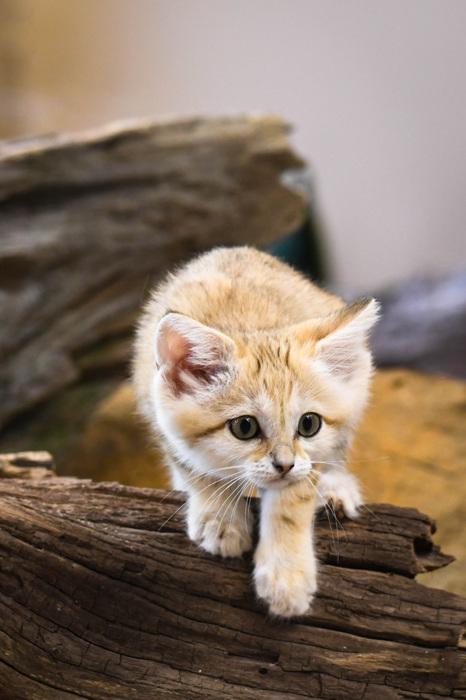 photoblog image Sandkattunge - Sand cat kitten (Felis margarita)