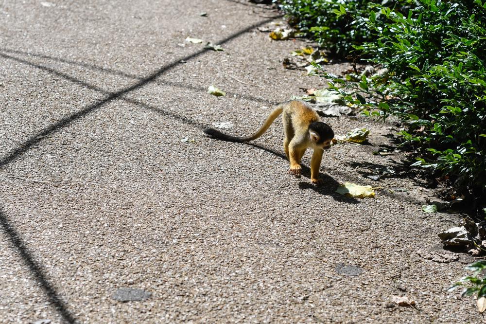 photoblog image Svarthövdad dödskalleapa - Black-capped squirrel monk