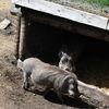 VÃ¥rtsvin - Common warthog (Phacochoerus africanus)