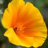 Sömntuta - California poppy(Eschscholzia californica)