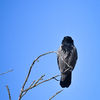 Kråka - Hooded Crow (Corvus cornix)