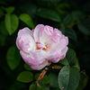 Ros - Rose 'Gentle Hermoine' (Rosa)