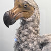 Dront - Dodo (Raphus cucullatus)