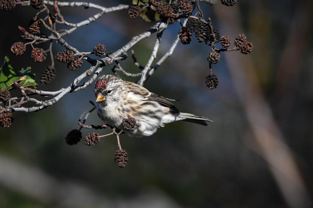 photoblog image Gråsiska - Common redpoll (Acanthis flammea)