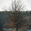 Ek - Oak (Quercus)