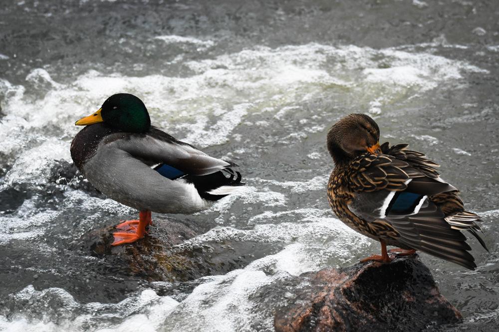 photoblog image Gräsand - Mallard (Anas platyrhynchos)