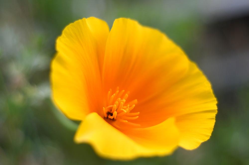 photoblog image Sömntuta - California poppy (Eschscholzia californica)
