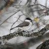 Entita - Marsh tit (Poecile palustris)