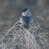 Kråka - Hooded crow (Corvus cornix)
