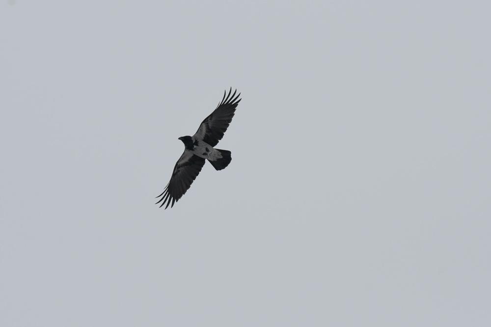 photoblog image Kråka - Hooded crow (Corvus cornix)