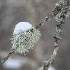 Lav - Lichen