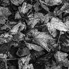 Löv - Leaves