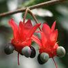 Mussepiggbuske - Mickey Mouse bush (Ochna serrulata)