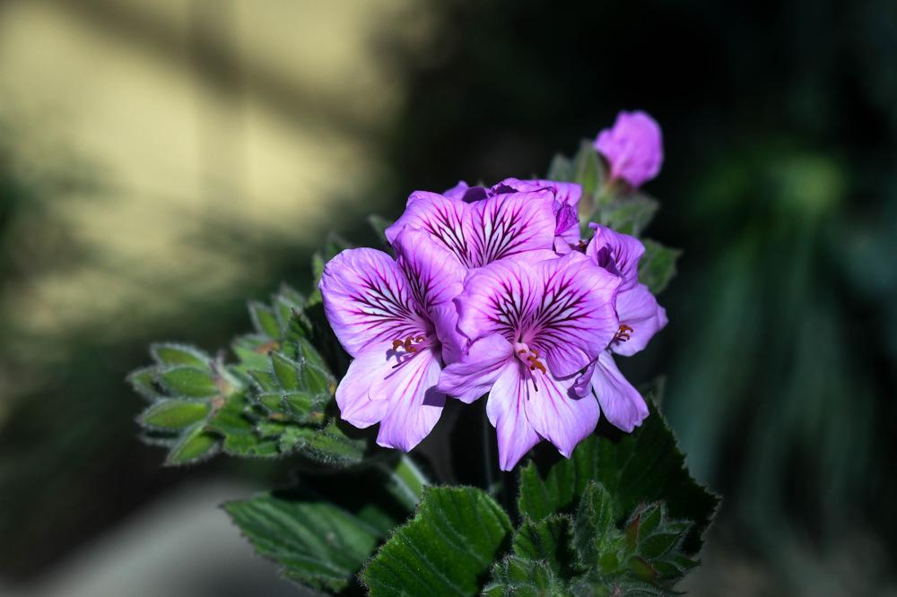 photoblog image Pelargonium cucculatum
