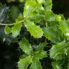 Kermesek - Kermes oak (Quercus coccifera)