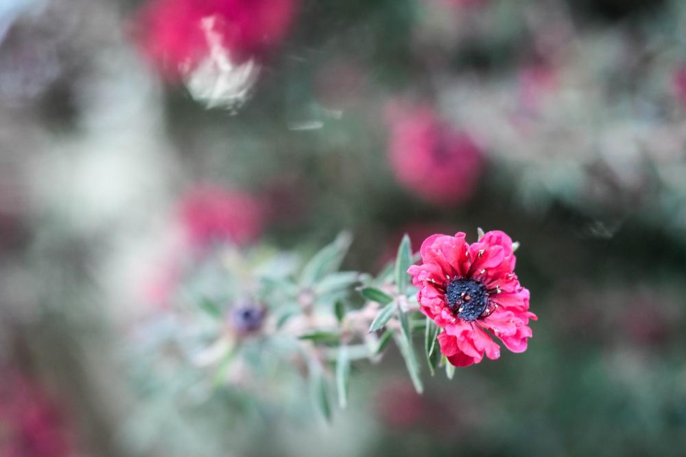 photoblog image Leptospermum scoparium