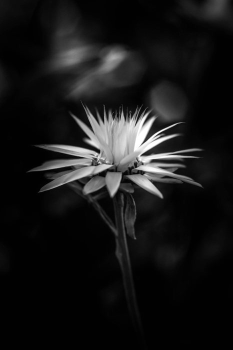photoblog image Helichrysum sp