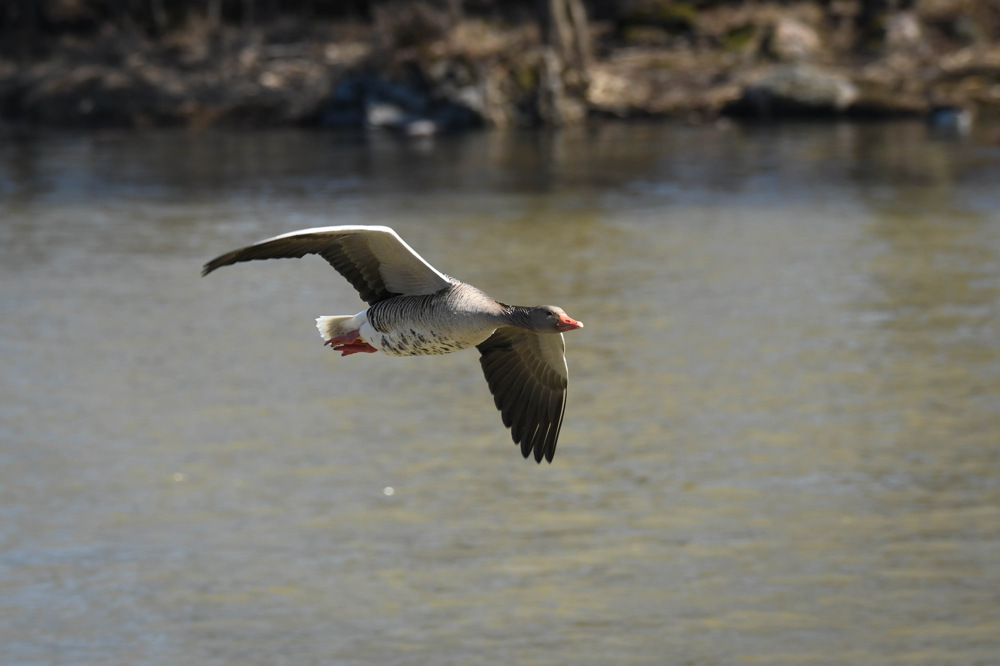 photoblog image Grågås - Greylag goose (Anser anser)