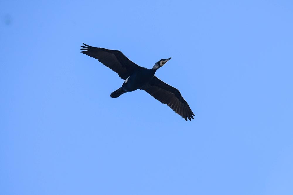 photoblog image Storskarv - Great cormorant (Phalacrocorax carbo)