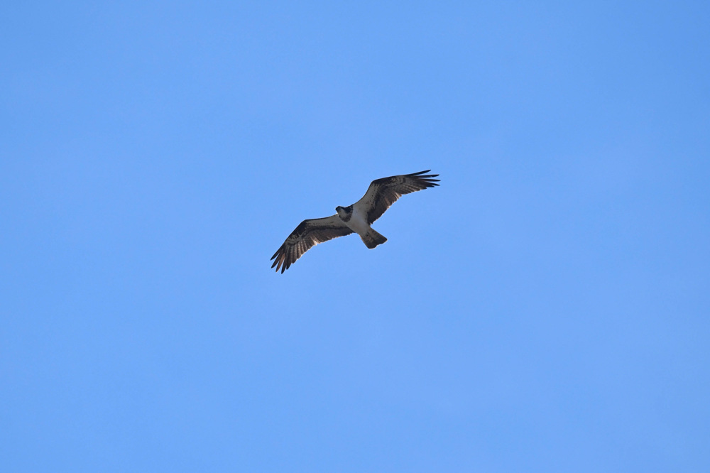 photoblog image Fiskgjuse - Osprey (Pandion haliaetus)