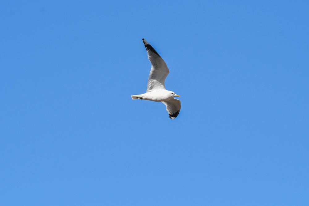 photoblog image Fiskmås - Common gull (Larus canus)