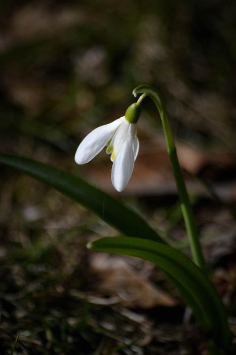 photoblog image Snödropp - Snowdrop (Galanthus)