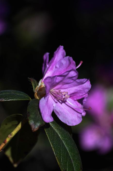 photoblog image Rhododendron praecox