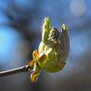 Hästkastanj - Horse-chestnut (Aesculus hippocastanum)