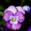Pensé - Pansy (Viola × wittrockiana)
