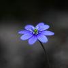 Blåsippa - Liverwort (Anemone hepatica)