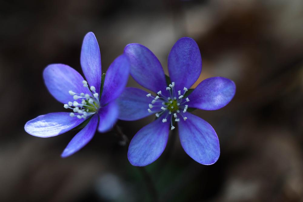 photoblog image Blåsippa - Liverwort (Anemone hepatica)