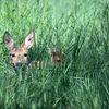 RÃ¥djur - Roe deer (Capreolus capreolus)