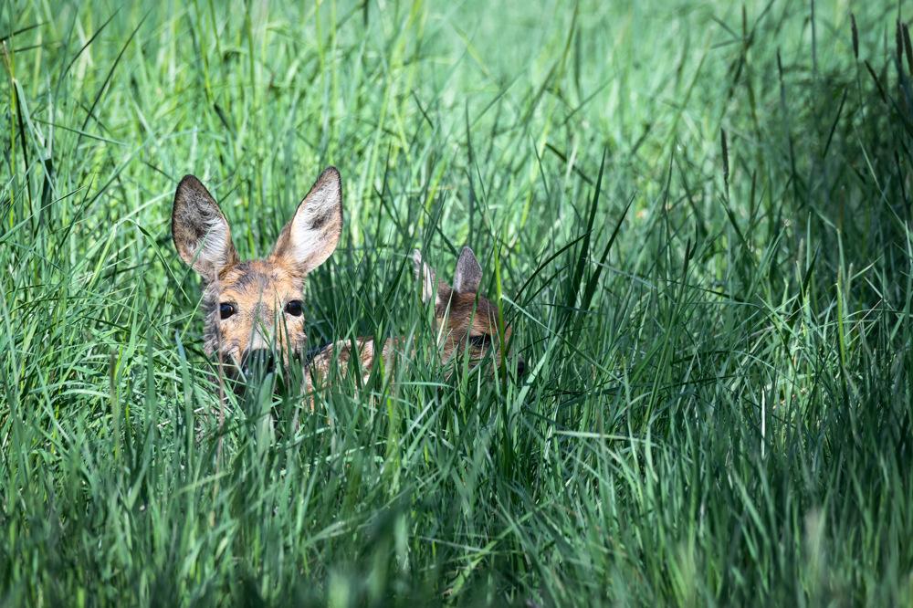 photoblog image RÃ¥djur - Roe deer (Capreolus capreolus)