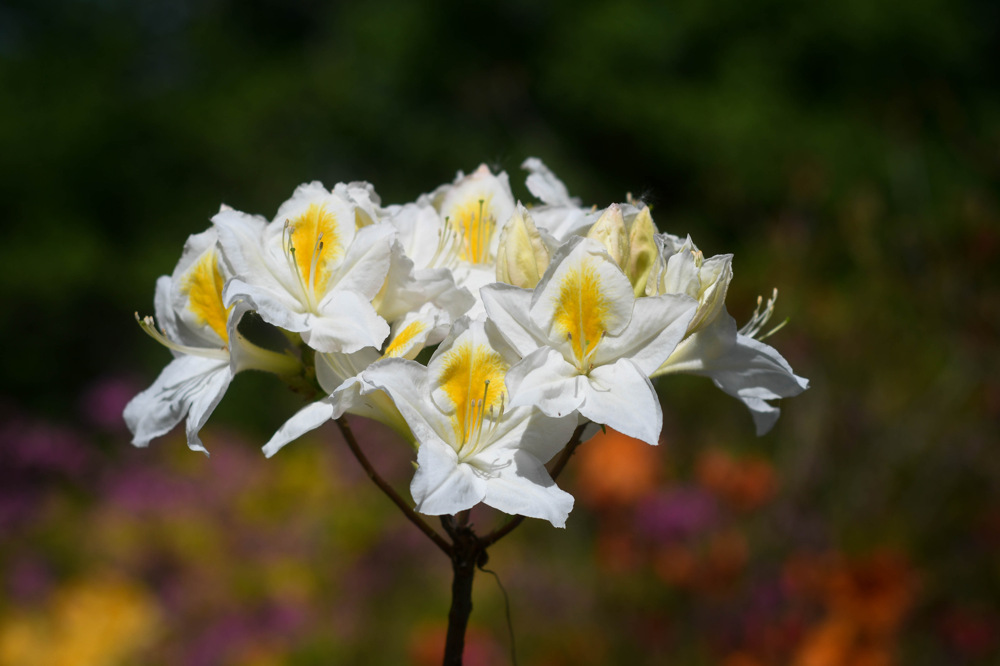 photoblog image Rhododendron 'Persil'