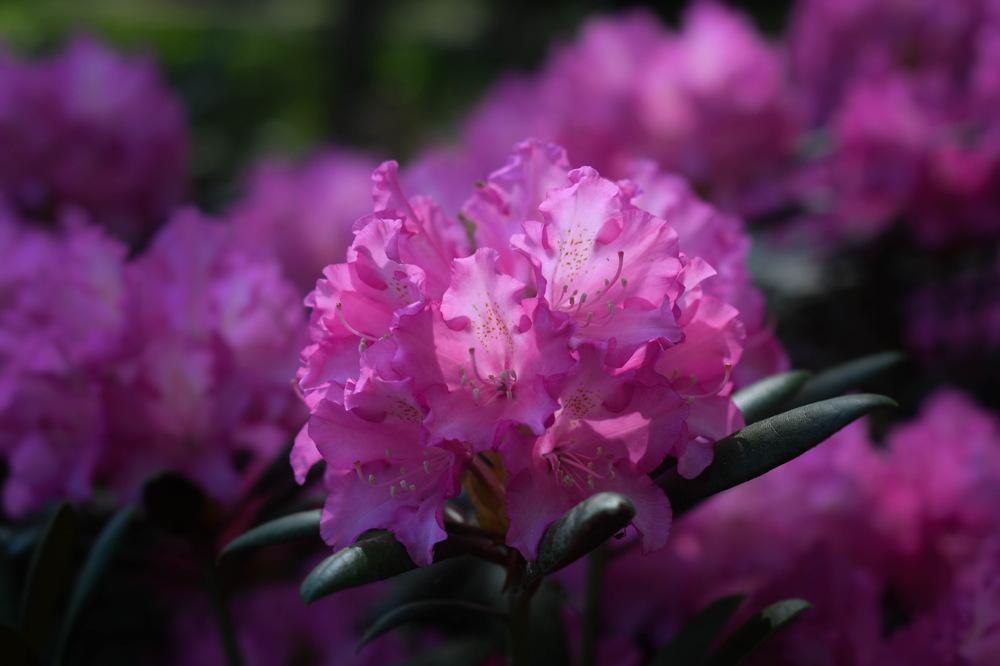 photoblog image Rhododendron yakushimanum 'Kalinka'