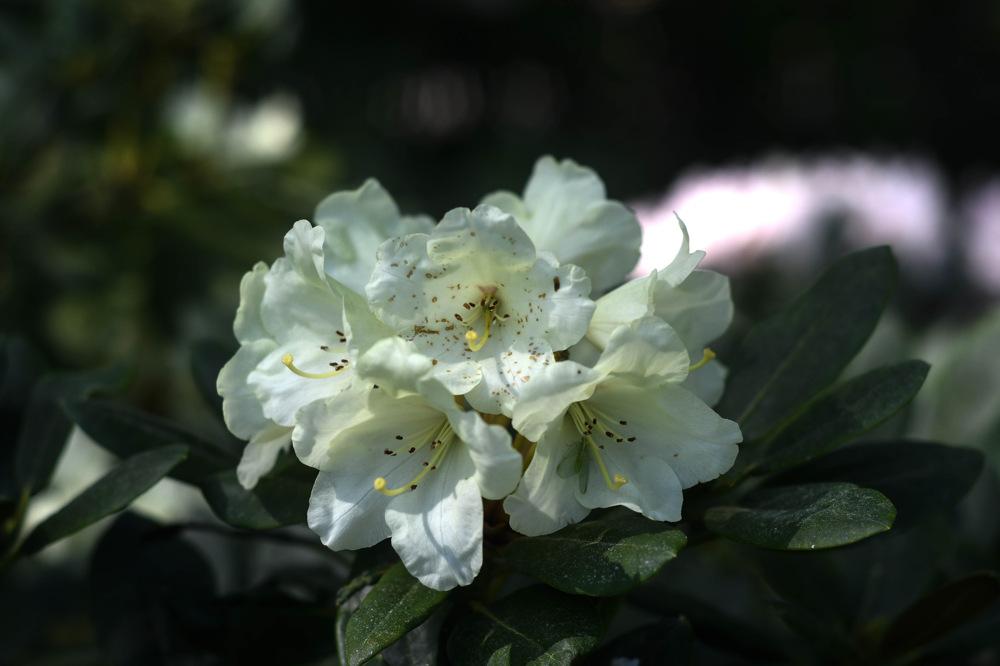 photoblog image Rhododendron yakushimanum 'Babette'