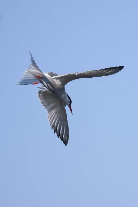 photoblog image Fisktärna - Common tern (Sterna hirundo)