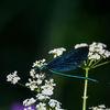 Blå jungfruslända - Beautiful Demoiselle