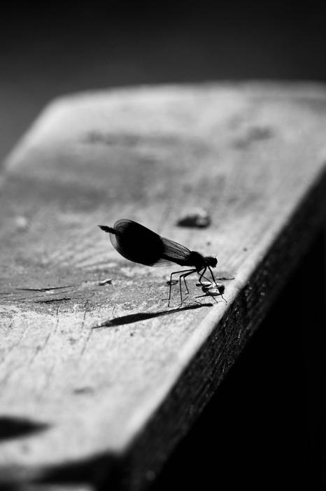 photoblog image Jungfruslända - Demoiselle (Calopteryx)