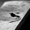 Jungfruslända - Demoiselle (Calopteryx)