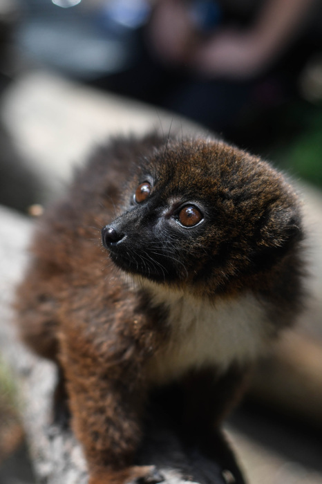 photoblog image Rödbukad lemur - Red-bellied lemur(Eulemur rubriventer