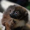 Rödbukad lemur - Red-bellied lemur(Eulemur rubriventer