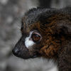 Rödbukad lemur -Red-bellied lemur(Eulemur rubriventer)