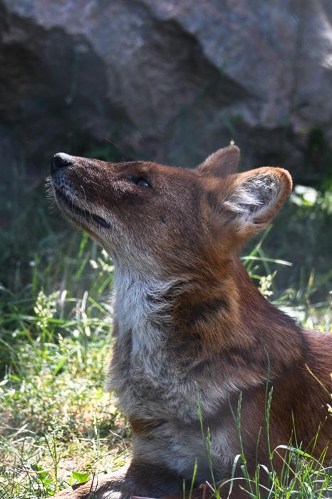 photoblog image Dhole (Cuon alpinus)