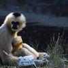 Nordlig vitkindad gibbon -Northern white-cheeked gibbon