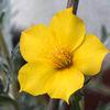 Gullstråle - Blazing star (Mentzelia lindleyi)