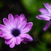 Osteospermum ecklonis 'Akila lavender shades'
