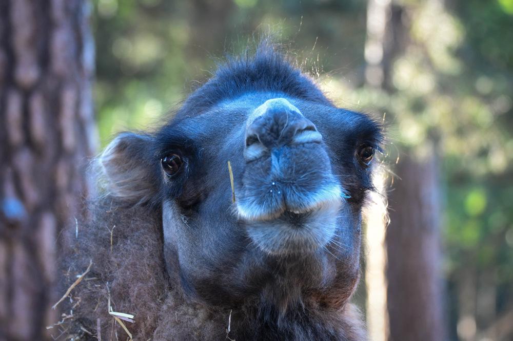 photoblog image Kamel - Wild Bactrian camel (Camelus ferus)
